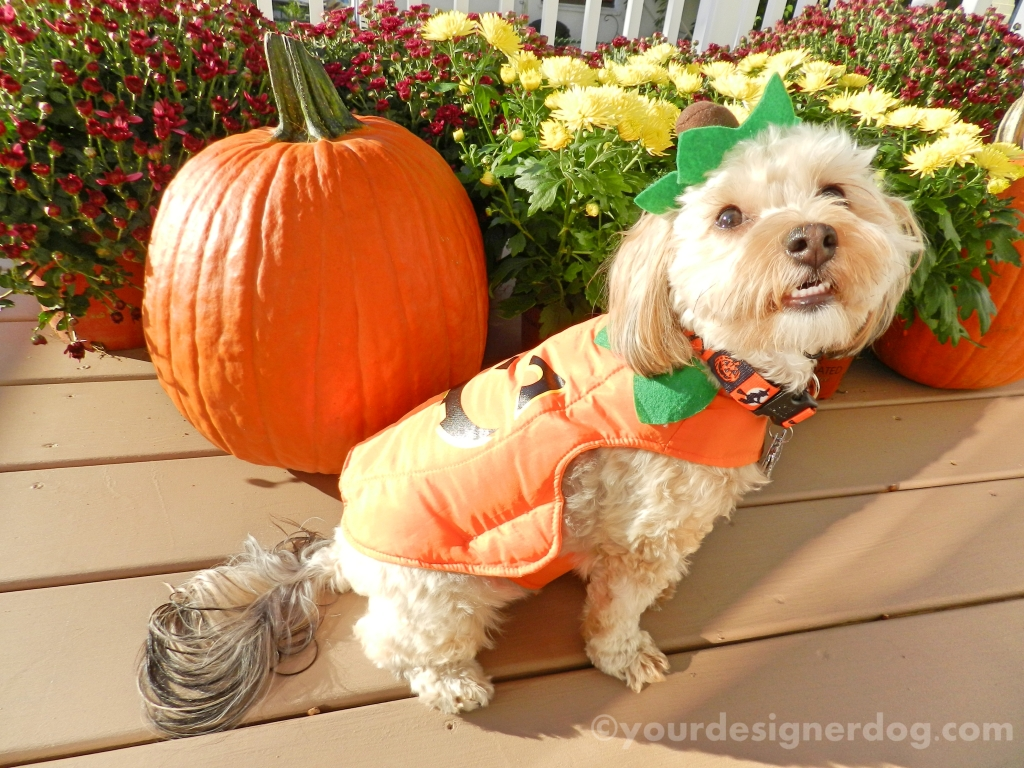 dogs, designer dogs, yorkipoo, yorkie poo, pumpkins, fall, halloween, dogs with flowers, mums, dogs smiling