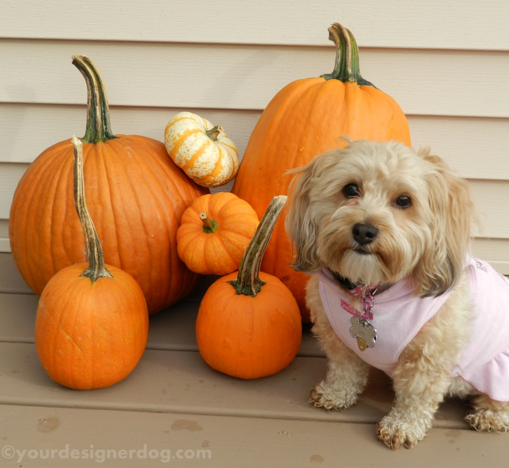 dogs, designer dogs, yorkipoo, yorkie poo, pumpkins, fall