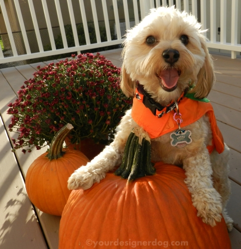 dogs, designer dogs, yorkipoo, yorkie poo, thanksgiving, fall, mums, pumpkin