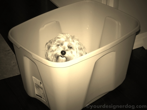 dogs, designer dogs, yorkipoo, yorkie poo, sepia photography, storage container