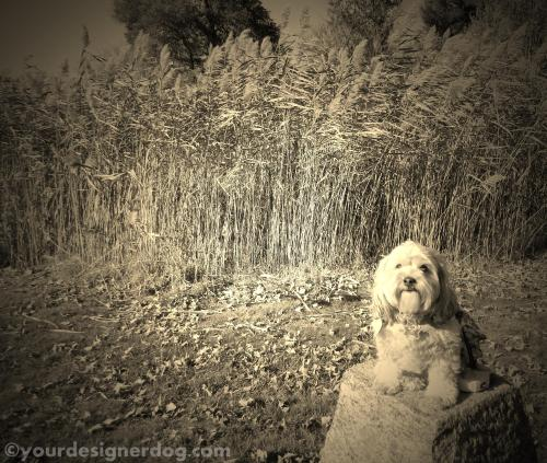 dogs, designer dogs, yorkipoo, yorkie poo, sepia photography, perching, pond