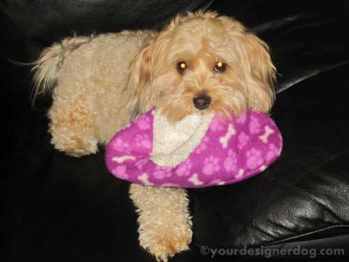 dogs, designer dogs, yorkipoo, yorkie poo, slipper, cold, thief, mischief
