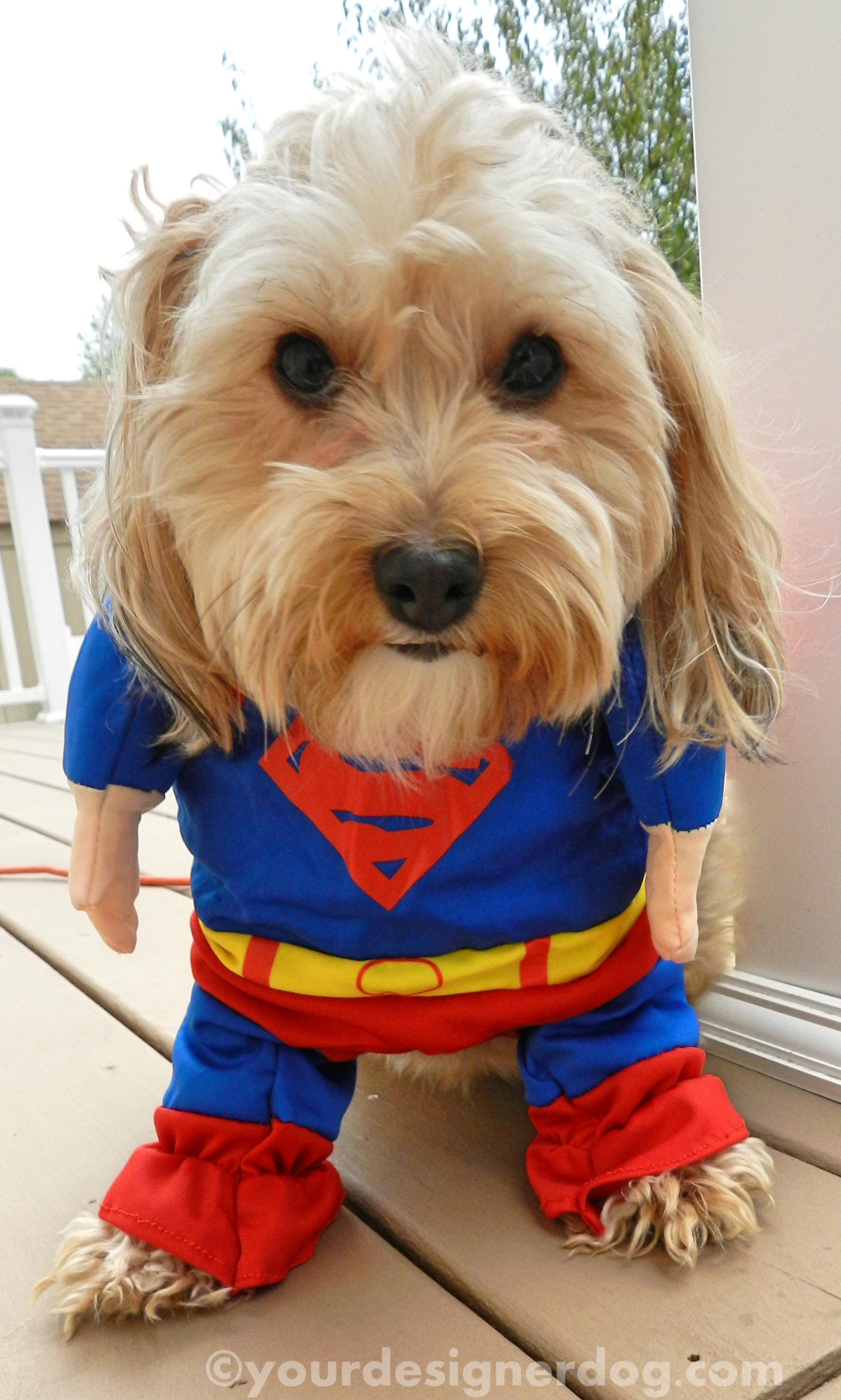 dogs designer dogs yorkipoo yorkie poo superhero halloween dog costume & Halloween Costume Cuteness - YourDesignerDog
