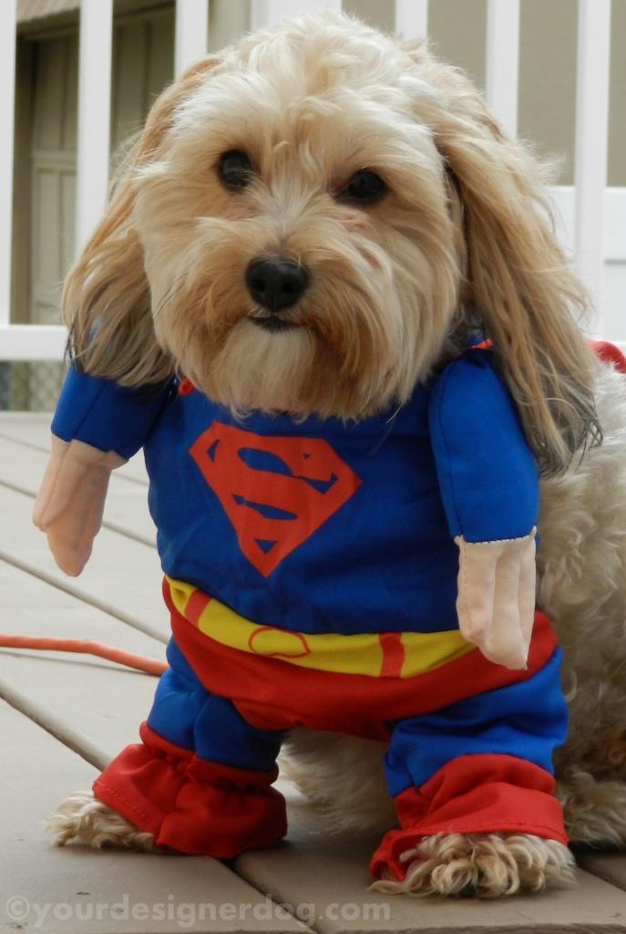 dogs, designer dogs, yorkipoo, yorkie poo, superhero, halloween, dog costume