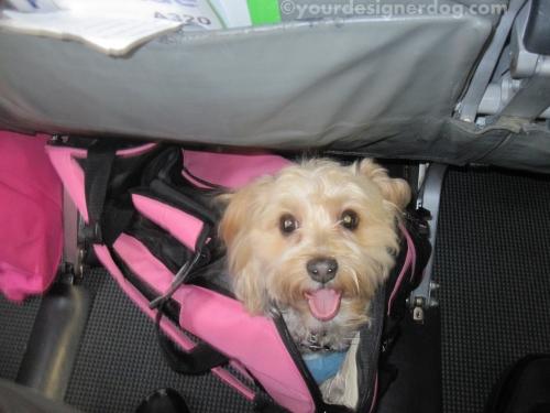 dogs, designer dogs, yorkipoo, yorkie poo, airplane