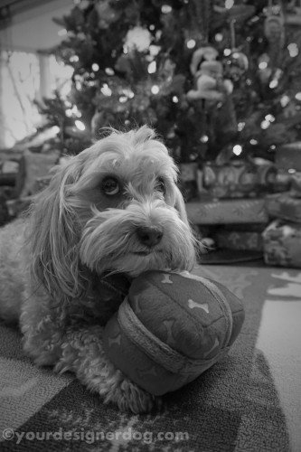 dogs, designer dogs, dog toy, yorkipoo, yorkie poo, black and white photography, christmas present
