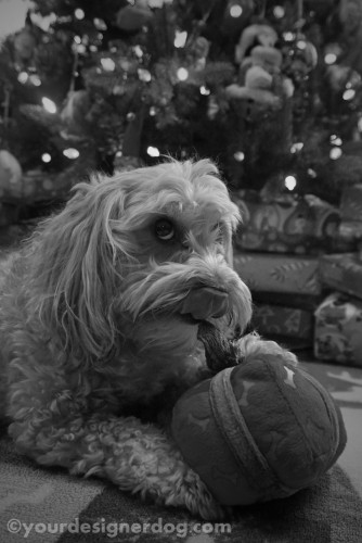 dogs, designer dogs, dog toy, tongue out, yorkipoo, yorkie poo, black and white photography, christmas present