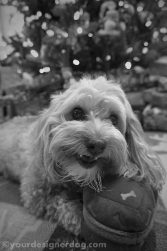 dogs, designer dogs, yorkipoo, yorkie poo, black and white photography, christmas present