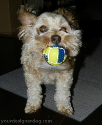 dogs, designer dogs, yorkipoo, yorkie poo, catch, squeaky ball, dog toy