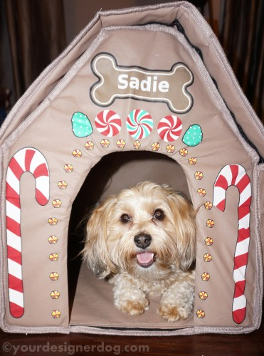 dogs, designer dogs, yorkipoo, yorkie poo, gingerbread house, dog smiling