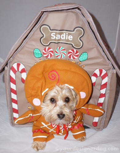 dogs, designer dogs, yorkipoo, yorkie poo, gingerbread house, dog house