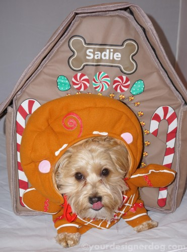 dogs, designer dogs, yorkipoo, yorkie poo, gingerbread house, tongue out, dog house