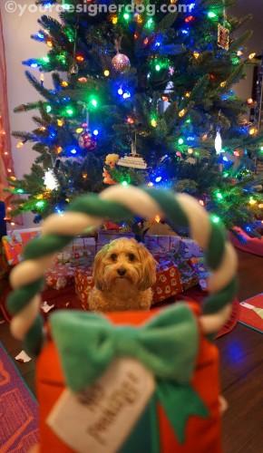 dogs, designer dogs, yorkipoo, yorkie poo, christmas, present, christmas tree