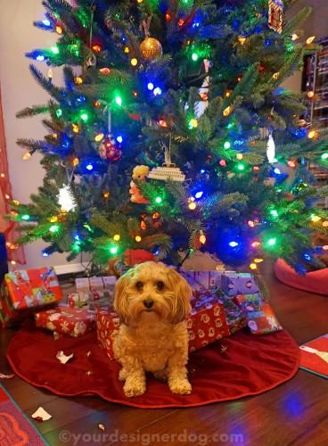 dogs, designer dogs, yorkipoo, yorkie poo, christmas, presents, christmas tree