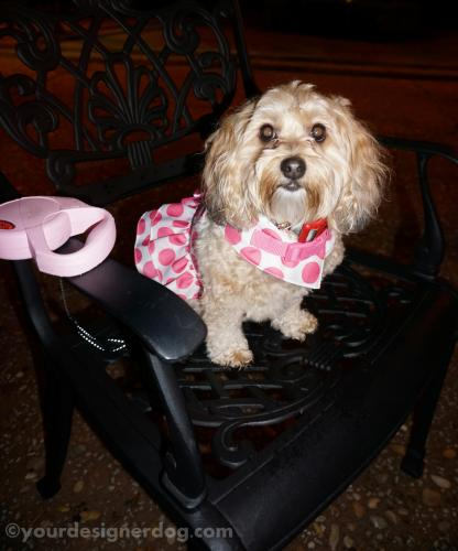 dogs, designer dogs, yorkipoo, yorkie poo, restaurant, dining, outdoors