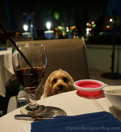 dogs, designer dogs, yorkipoo, yorkie poo, restaurant, dinng, outdoors