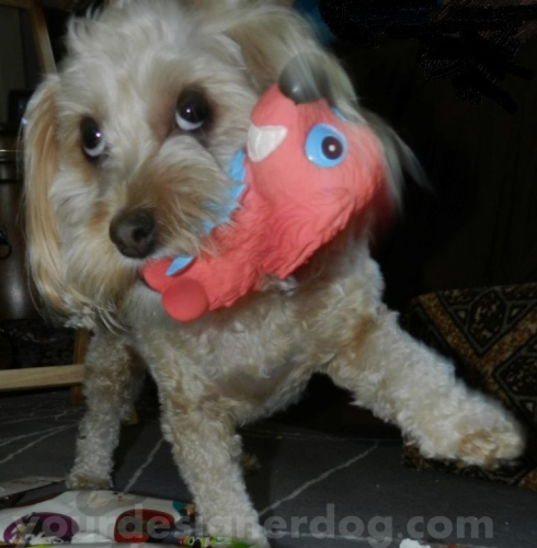 dogs, designer dogs, yorkipoo, yorkie poo, squeaky toy, dog toy