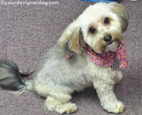 dogs, designer dogs, yorkipoo, yorkie poo, bandana, groomed