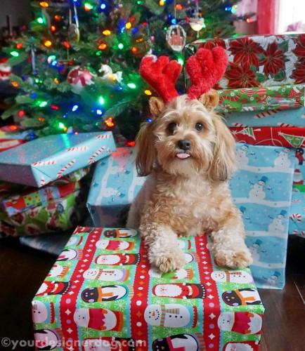 dogs, designer dogs, yorkipoo, yorkie poo, christmas tree, reindeer, presents