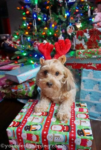 dogs, designer dogs, yorkipoo, yorkie poo, reindeer, christmas tree, presents