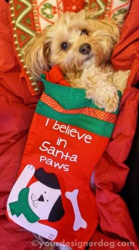 dogs, designer dogs, yorkipoo, yorkie poo, santa, santa paws