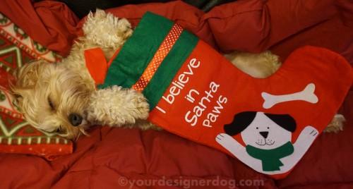 dogs, designer dogs, yorkipoo, yorkie poo, santa, santa paws, sleepy puppy