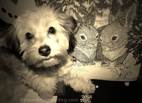 dogs, designer dogs, yorkipoo, yorkie poo, puppy, bunny, winter, sepia photography