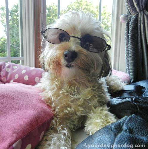 dogs, designer dogs, yorkipoo, yorkie poo, sunglasses
