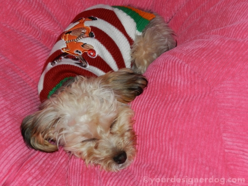 dogs, designer dogs, yorkipoo, yorkie poo, christmas sweater, sleepy puppy