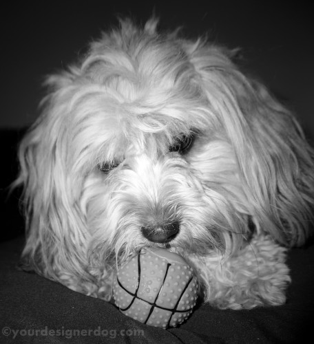 dogs, designer dogs, yorkipoo, yorkie poo, black and white photography, dog toy, squeaky ball