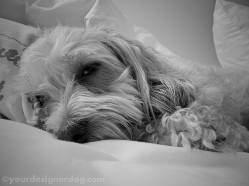 dogs, designer dogs, yorkipoo, yorkie poo, black and white photography, sleepy puppy