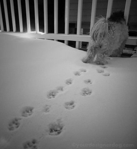 dogs, designer dogs, yorkipoo, yorkie poo, paw prints, black and white photography, snow, winter