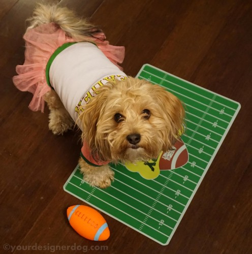 dogs, designer dogs, yorkipoo, yorkie poo, football, cheerleader, Super Bowl, Puppy Bowl