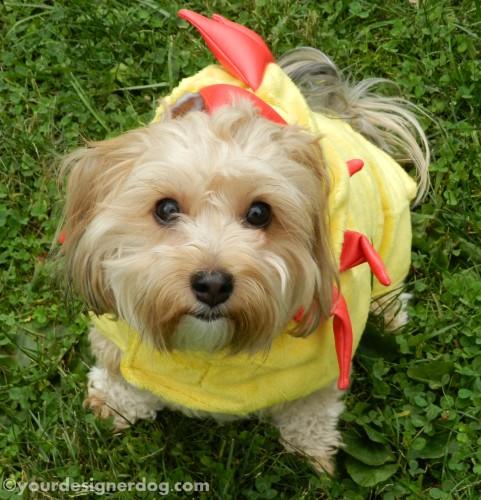 dogs, designer dogs, yorkipoo, yorkie poo, chicken costume, dog costume