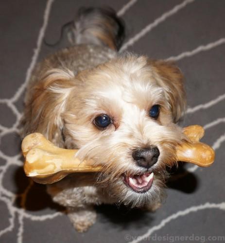 dogs, designer dogs, yorkipoo, yorkie poo, dog bone, dinosaur