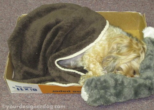 dogs, designer dogs, yorkipoo, yorkie poo, cardboard box, sleepy pupppy, office, DIY, dogs at work