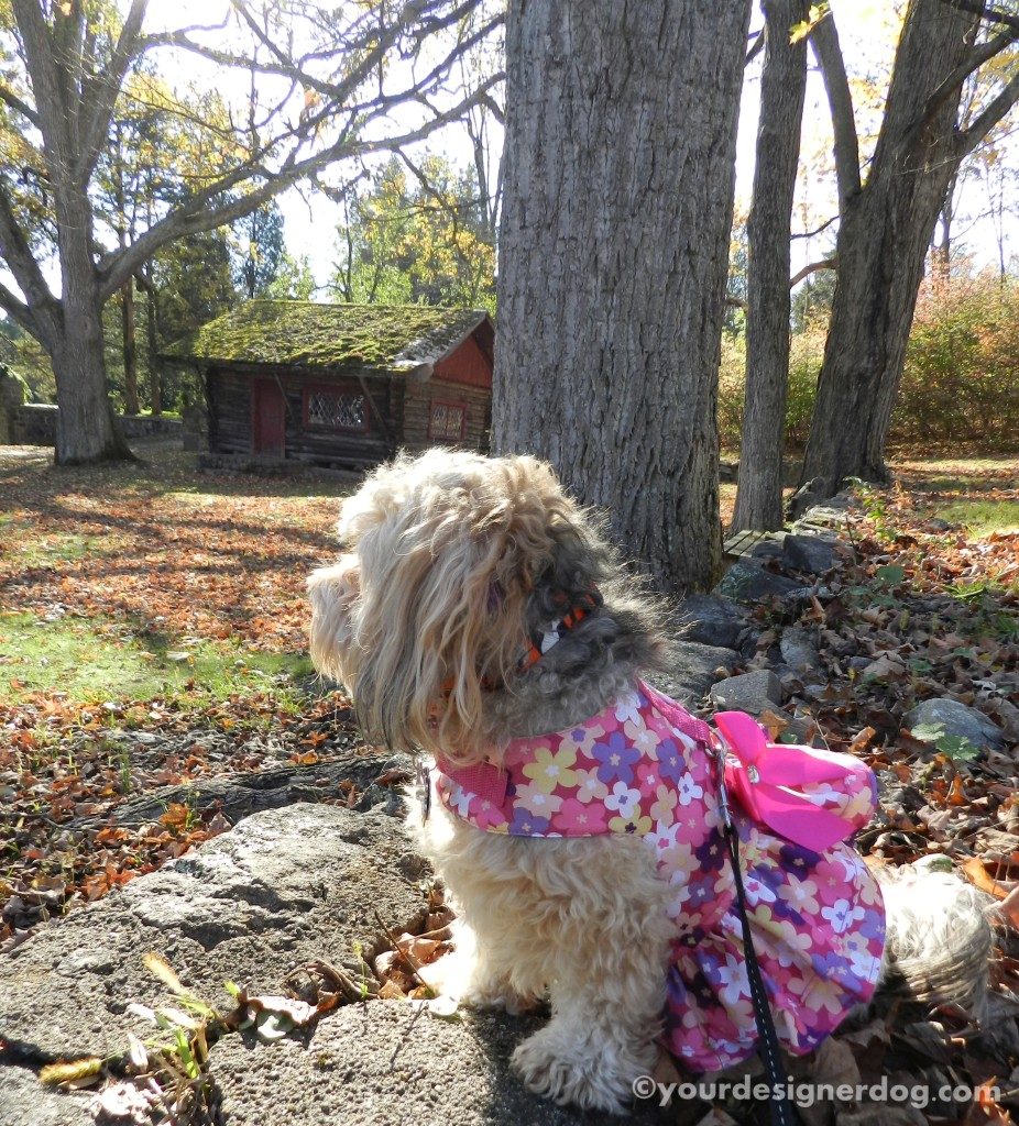 dogs, designer dogs, yorkipoo, yorkie poo, cabin, woods, fairytale