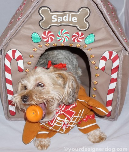 dogs, designer dogs, yorkipoo, yorkie poo, catch, gingerbread house, chrsitmas