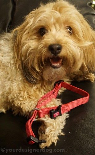 dogs, designer dogs, yorkipoo, yorkie poo, dog collar, review, hamilton collars
