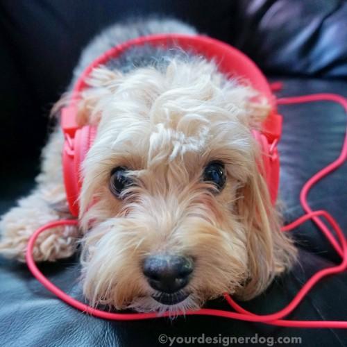 dogs, designer dogs, yorkipoo, yorkie poo, music, headphones