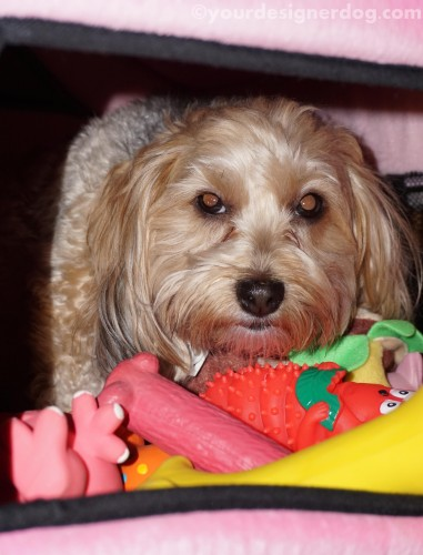 dogs, designer dogs, yorkipoo, yorkie poo, dog house, mischief, dog toys, hoarder
