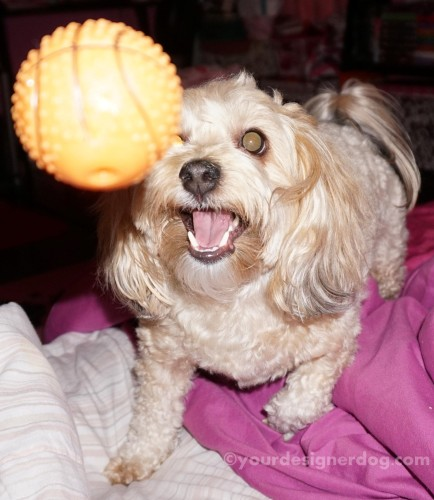 dogs, designer dogs, yorkipoo, yorkie poo, dog smiling, dog toy, joy, catch, squeaky toy
