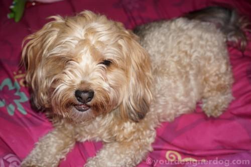 dogs, designer dogs, yorkipoo, yorkie poo, dog smiling, haircut, groomer