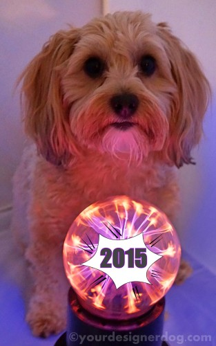 dogs, designer dogs, yorkipoo, yorkie poo, new year's, 2015