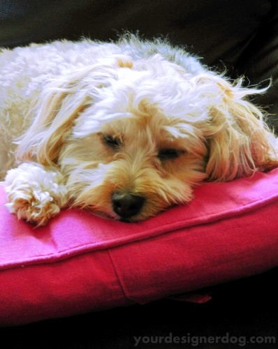 dogs, designer dogs, yorkipoo, yorkie poo, sleepy puppy, dreams