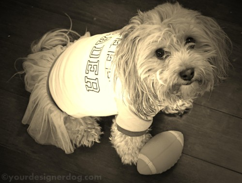 dogs, designer dogs, yorkipoo, yorkie poo, sepia photography, football, cheerleader, puppy bowl, super bowl