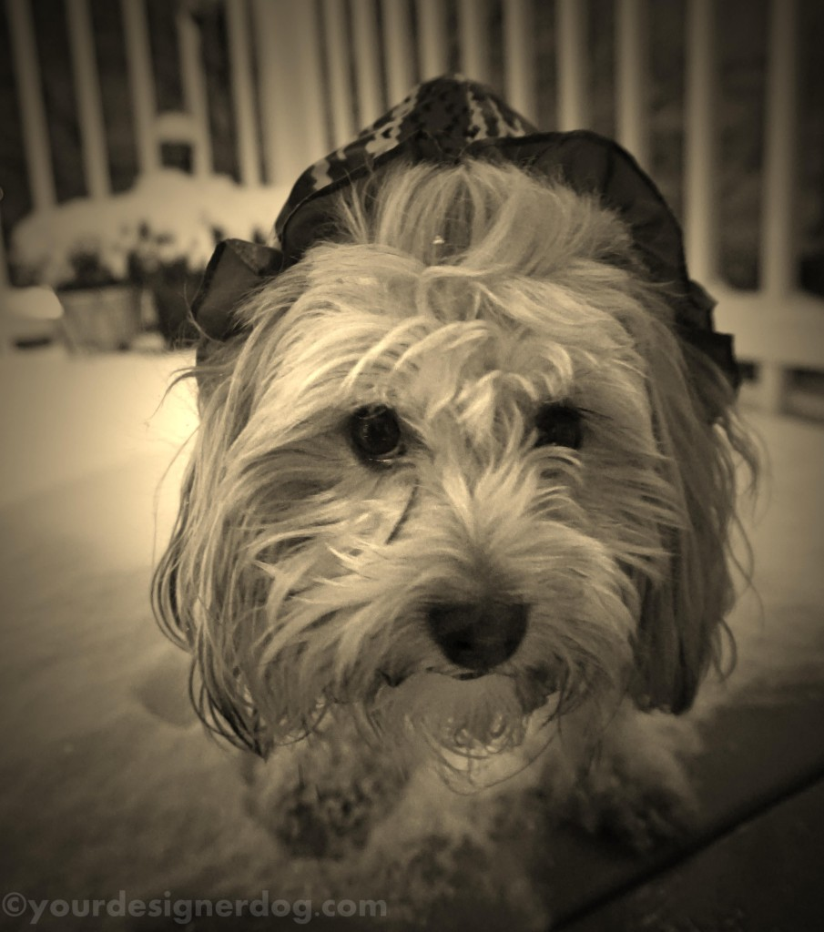 dogs, designer dogs, yorkipoo, yorkie poo, sepia photography, snow, winter