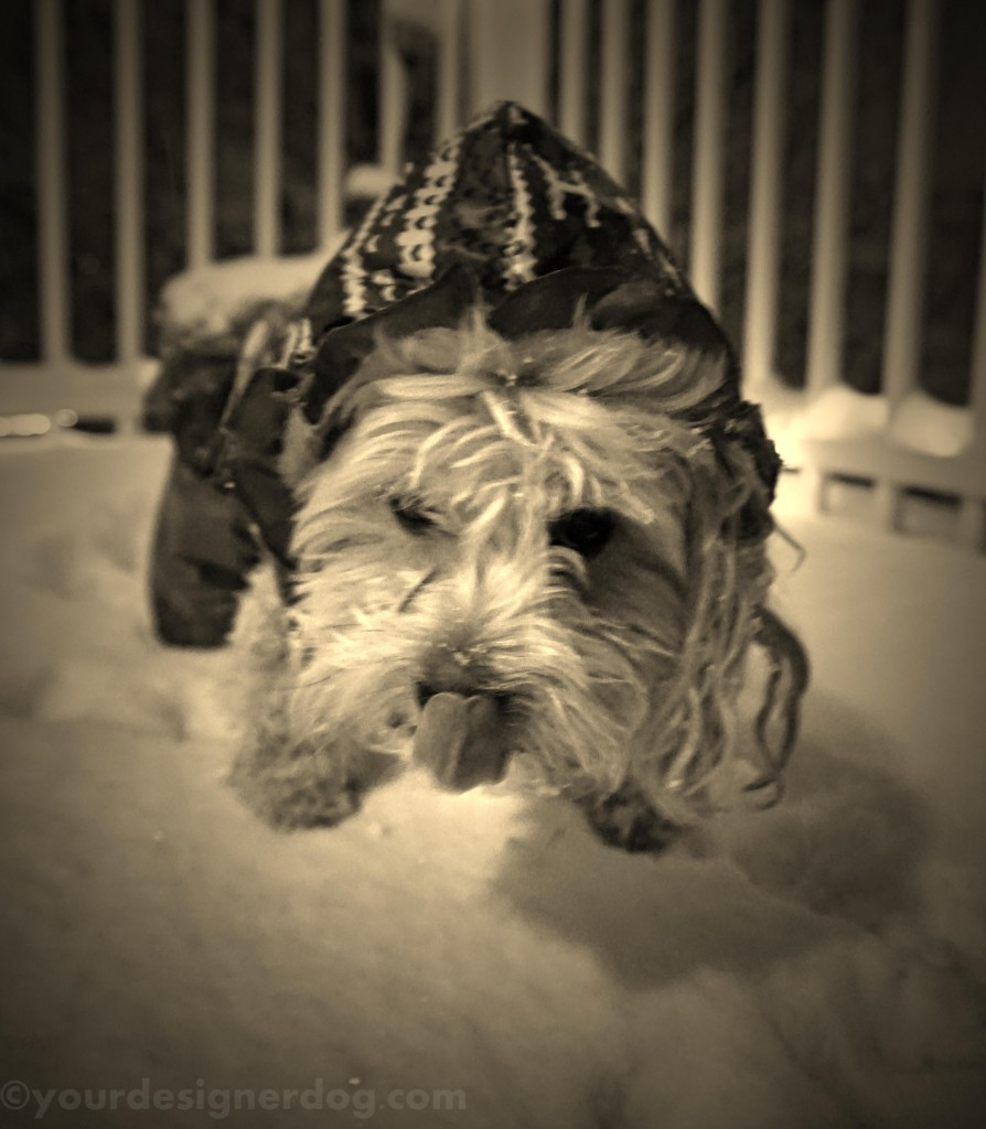 dogs, designer dogs, yorkipoo, yorkie poo, sepia photography, snow, winter, tongue out