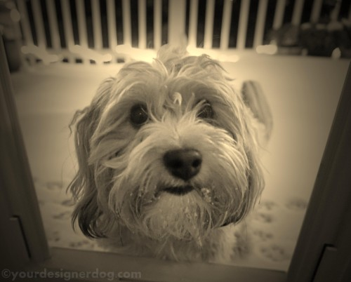 dogs, designer dogs, yorkipoo, yorkie poo, sepia photography, snow, winter, dog door