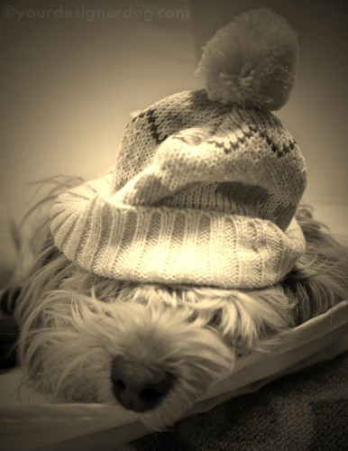 dogs, designer dogs, yorkipoo, yorkie poo, sepia photography, winter, sleepy puppy, knit hat